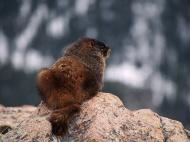 Marmot - Rocky Mountain