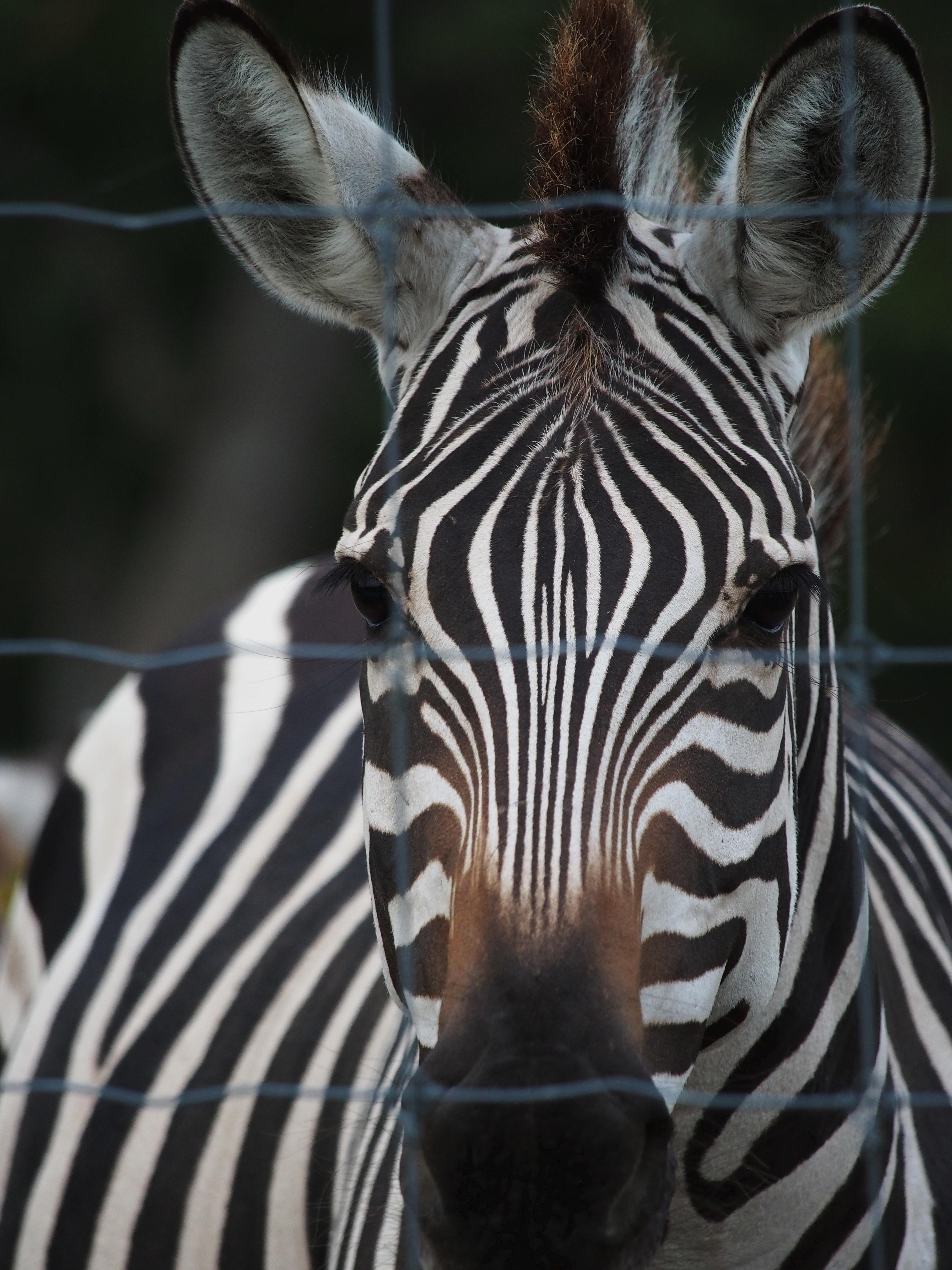 Zebra without stripes real - photo#35