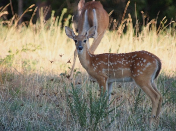 Notice how the doe has no concern or alarm, she even turns her back on me when her fawn is nearby.