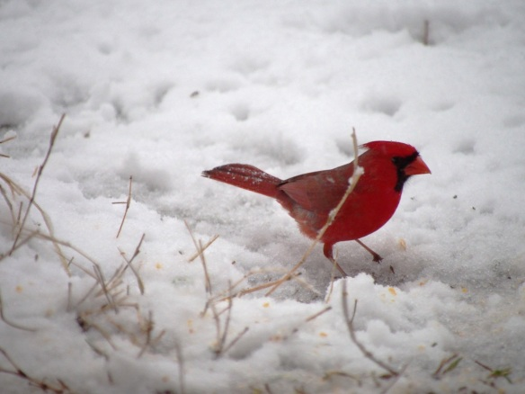 Stomping in the snow, looking for seed...