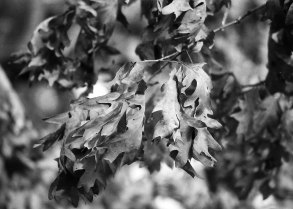 These dried leaves were still hanging on in mid February. Again shot at f1.8.