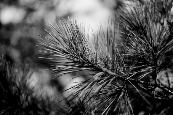Pine needles in the cold sunshine. Very shallow DOF