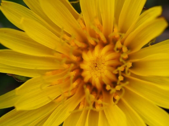The dandelion is far more complex that it appears from the seat of my mower deck. The center is almost crystalline