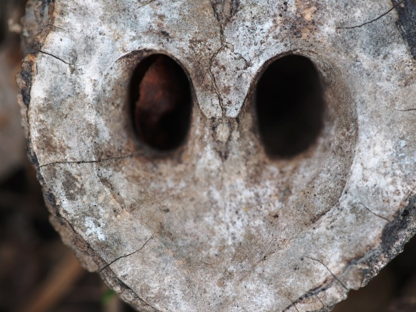 Is this the face of an owl? Nah, it's just the shell of a black walnut - it was probably a winter  meal for a squirrel