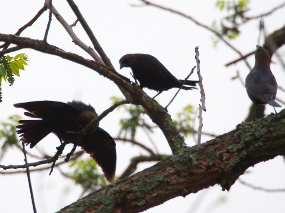The male on the left does the cowbird version of the Electric Slide.
