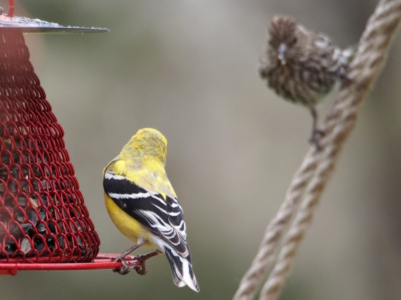 Goldfinch face off