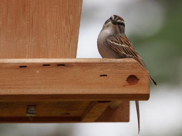 Posing sparrow