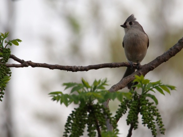 Titmouse in the house!