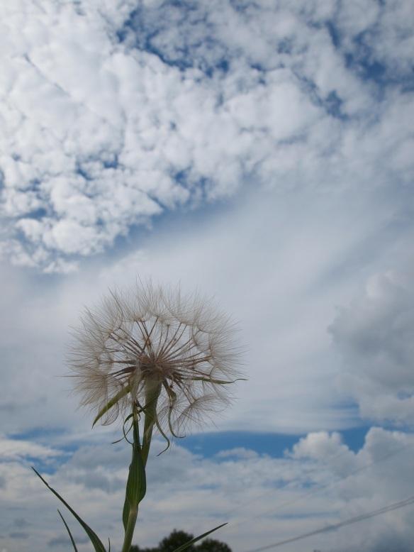 The dandelion in all it's glory.