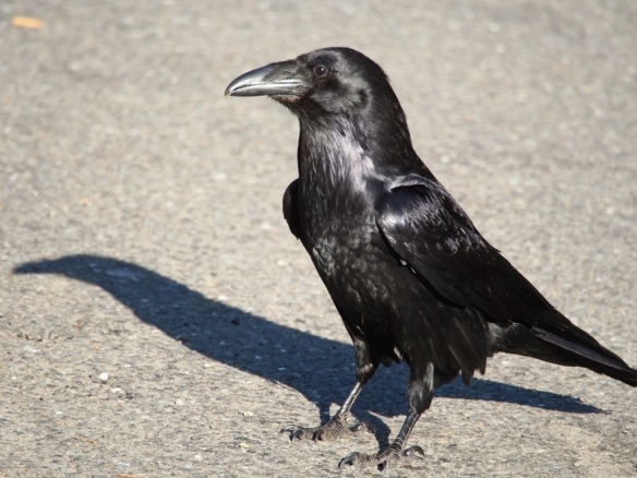 Although ravens have an amazing ability to fly and soar with the eagles, they often seemed content to walk around on the roadsides. Watching them I can see where the Looney Tunes got that silly bird walk from.