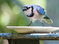 Bluejay Shot 4