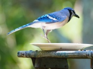 Bluejay Shot 23