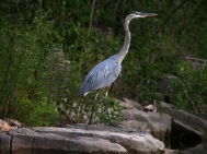 Table Rock Heron