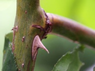 So much grain and striations in that tiny thorn, no wonder it smarts when one gets under your skin.