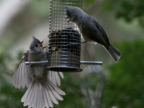 "Now the youngster goes all out - pulling out all the stops. The mature bird lets out an unconcerned ""chirp""."