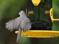 Typically a titmouse would get a seed and fly off to crack it - this guy screams like a baby.