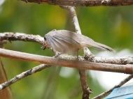 I wondered if this fluffing behavior was akin to what hummingbirds to - it makes them look larger to other birds.