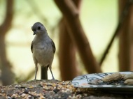Titmice typically sit low so they can grab seed and run.