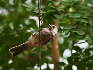 Titmice typically land on ropes and strings as a mid point to landing on feeders, not as a permanent roost.