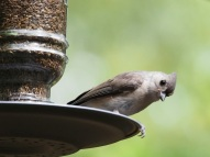 Titmice typically don't bother with thistle feeders because their beaks are too large to fit into the openings.