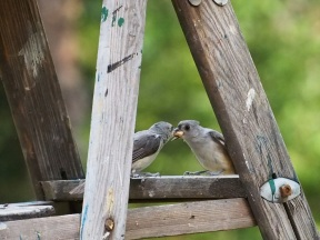 As a great deal of flapping and screeching goes on the mature bird hops across the gap - is the peanut shared, or stolen?