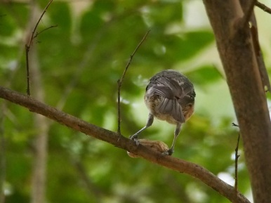 The mature bird takes the peanut into the crepe myrtle to finish the job,