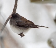 Stationary Junco