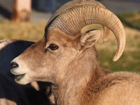 This was the big man on campus. He was definitely the dominant male. As he matures his horns will continue to spiral.