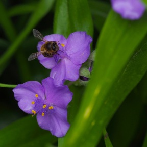 Buzzin' in the Spiderwort