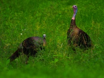 Wild Turkeys - Great Smokey Mountains