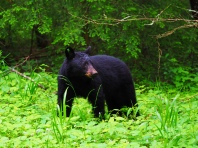 Black Bear - Great Smokey Mountains