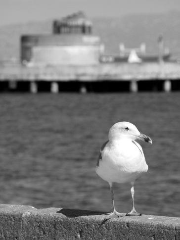 Seagull - Alcatraz