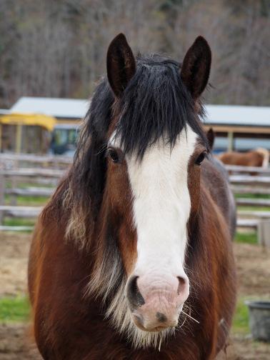 Draft Horse - Acadia