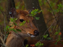 Sitka Deer - Assateague Island