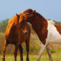 Wild Ponies - Assateague Island