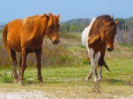 Ponies - Assateague Island