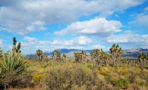 Joshua Trees - Mojave Preserve