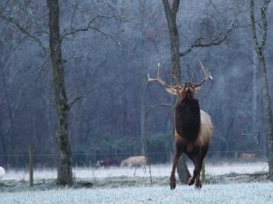 Bull Elk - Buffalo River